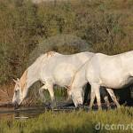 due-cavalli-di-camargue-che-bevono-ad-uno-stagno-23016590